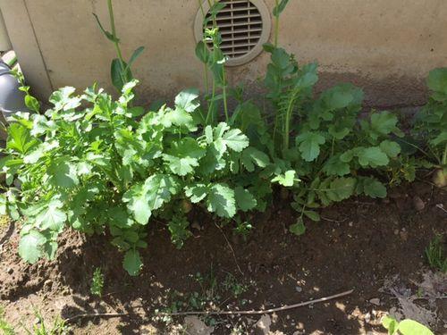 協生農法風家庭菜園 日向2