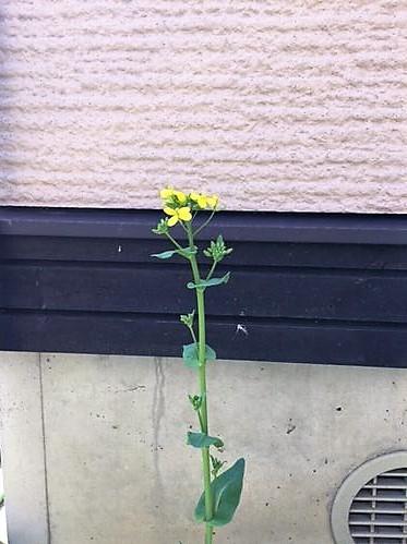 花が咲いた小松菜
