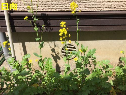 小松菜 菜の花