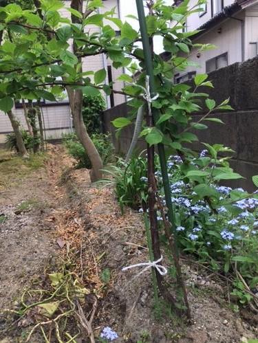 家庭菜園 ユスラウメ