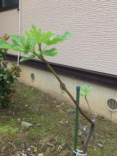 イチジクの葉