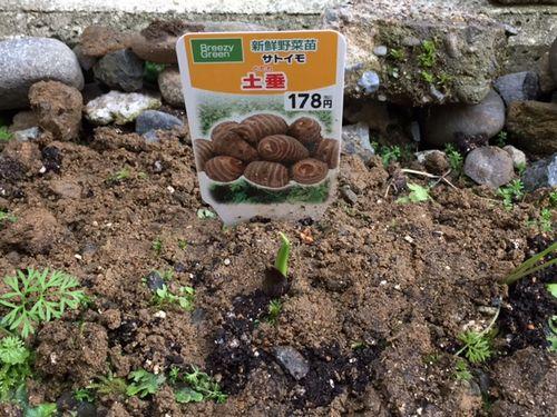 サトイモの苗