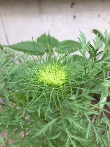 ニンジンの花2