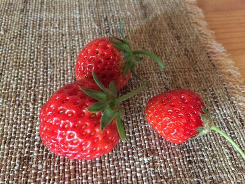 収穫したイチゴ