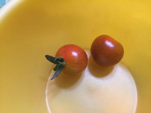 日向 ミニトマト