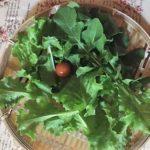 収穫 葉レタスとルッコラ、ミニトマト