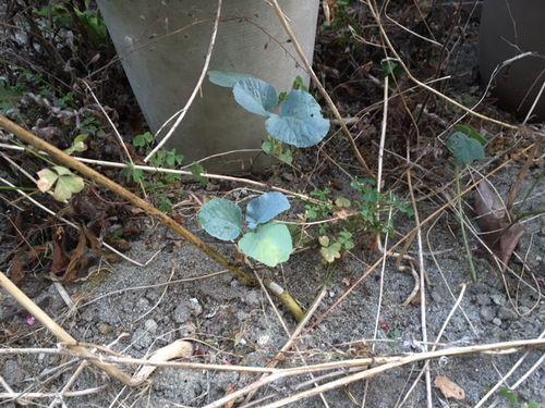 何かの芽が出た
