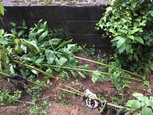倒れた菊芋2