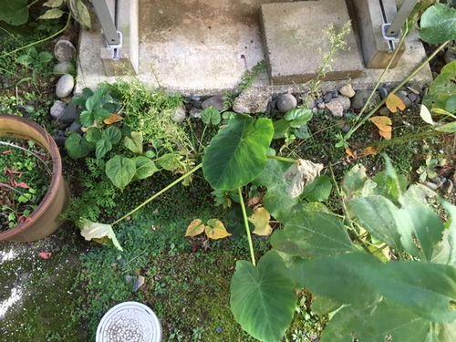 半日陰の畝の里芋