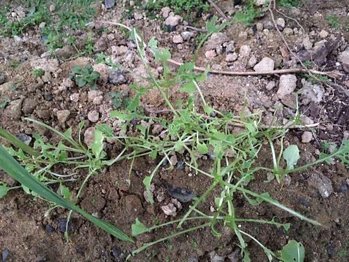 黒イモムシ(ナノクロムシ)に食べられた跡