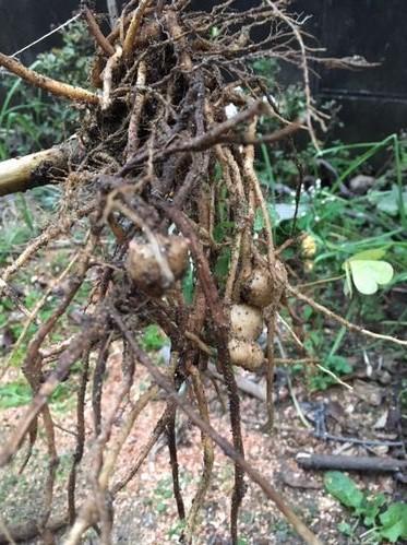 菊芋を試し掘り