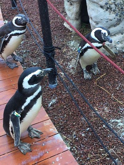 うみがたり ペンギン