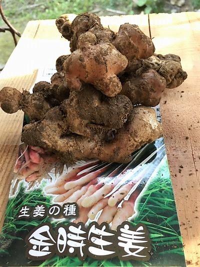 金時生姜(しょうが)