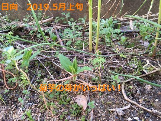 日向 2019.5上旬 菊芋