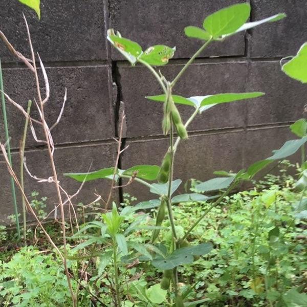 枝豆が不作