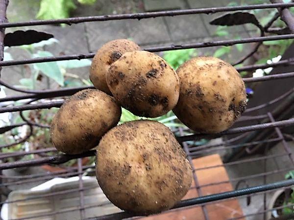ジャガイモのキタアカリ