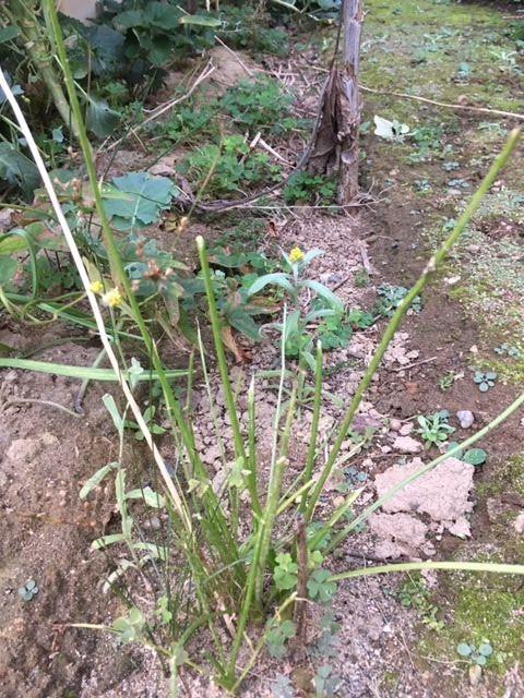 キアゲハの幼虫に食われたニンジンの葉