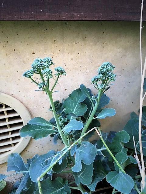 茎立ちブロッコリー2