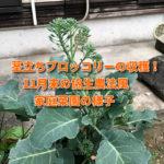 茎立ちブロッコリーの収穫!