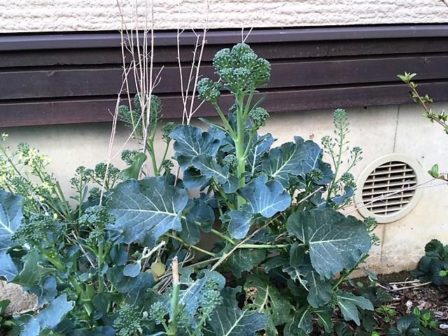茎立ブロッコリー2