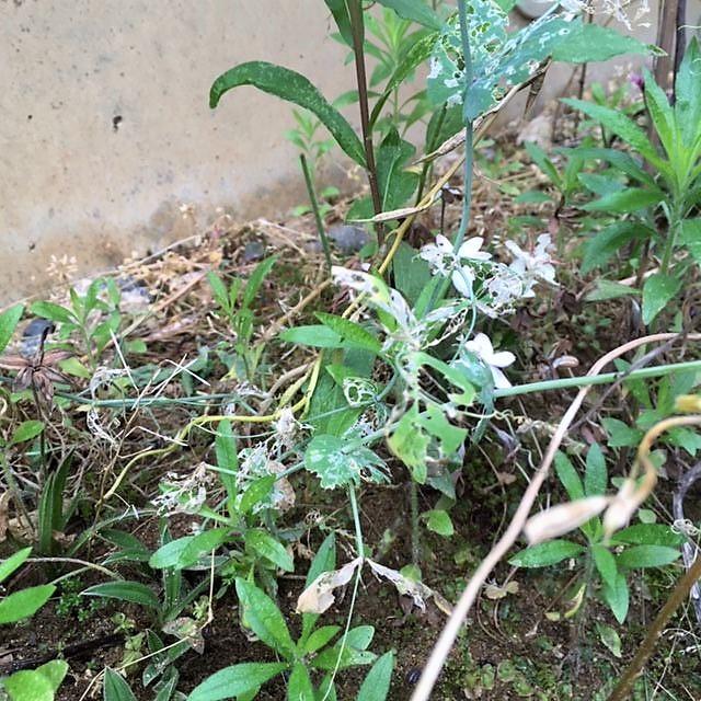 サヤエンドウの葉の食害 ハモグリバエ