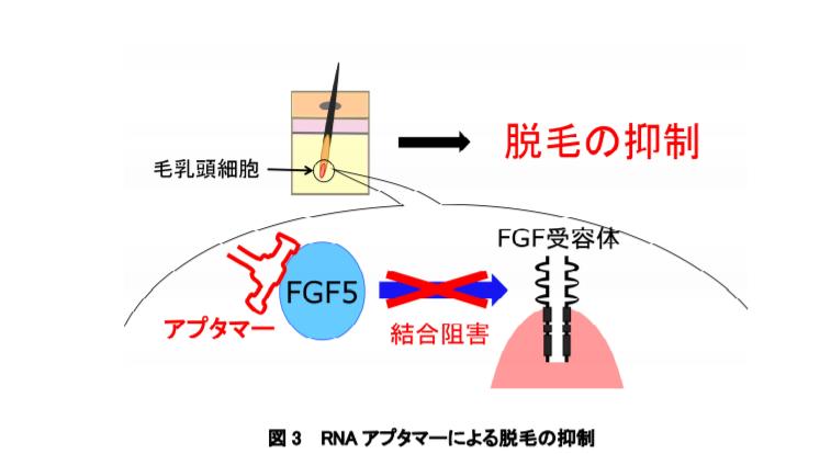 RNA アプタマーによる脱毛の抑制