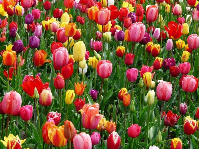 春 チューリップ