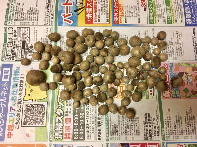零余子(むかご)の収穫