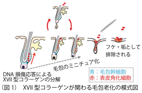 毛包老化の模式図