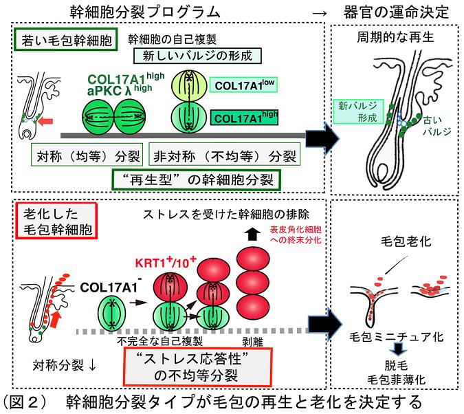 幹細胞分裂タイプが毛包の再生と老化を決定する