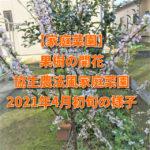 【家庭菜園】果樹の開花 耕さない・農薬なし・肥料なし・水やりなしの協生農法風家庭菜園2021年4月初旬の様子