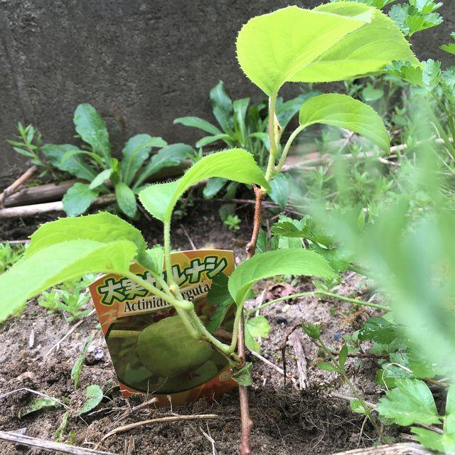 サルナシを植樹