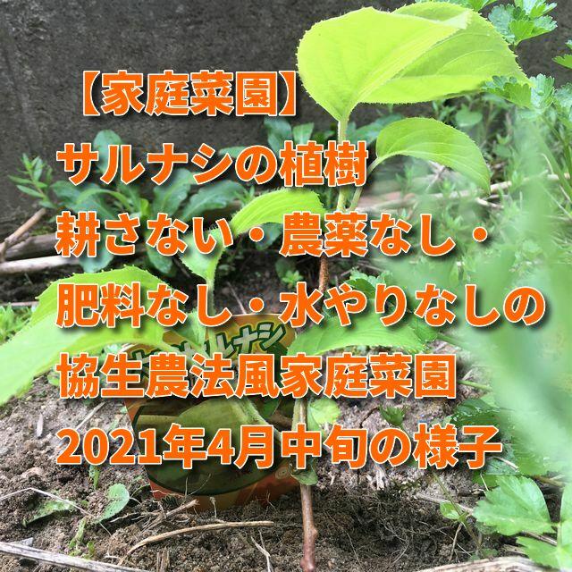 【家庭菜園】サルナシの植樹 耕さない・農薬なし・肥料なし・水やりなしの協生農法風家庭菜園2021年4月中旬の様子