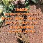 【家庭菜園】また極太ゴボウが採れたっ!耕さない・農薬なし・肥料なし・水やりなし・草取りなしの協生農法風家庭菜園2021年5月上旬の様子