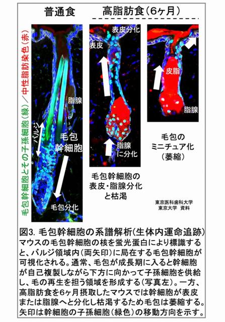 毛包幹細胞の系譜解析