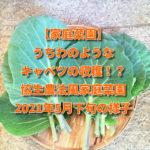 【家庭菜園】うちわのようなキャベツの収穫!?協生農法風家庭菜園2021年5月下旬の様子