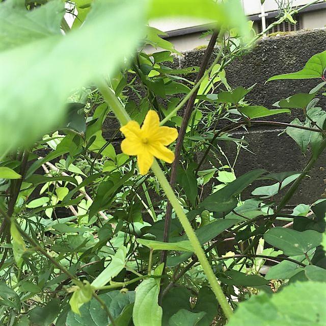 菊芋に巻きつき登る地這いキュウリ